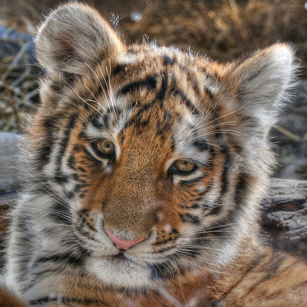 Female Siberian tiger cub born June 22, 2010